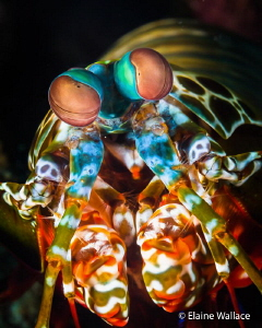 Peacock mantis shrimp, no eggs - pity!  Unusually not run... by Elaine Wallace
